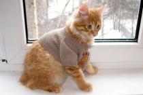 домашняя рысь продажа котят курильский бобтейл