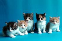 продажа котят курильский бобтейл вязка кошек питомники курильских бобтейлов