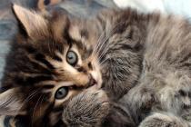 домашняя рысь продажа котят питомники курильских бобтейлов вязка кошек