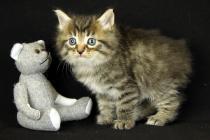 """Помет №90 """"Р"""" 05.09.14. 5 котят."""