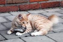 вязка кошек курильский бобтейл
