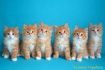 """Помет № 105 """"Ф"""" от 07.05.15. 6 котят"""