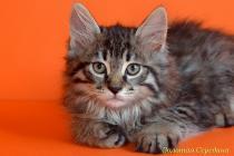 """Помет № 110 """"А"""" от 11.06.15. 3 котенка"""